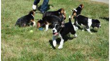 پژوهشگران دانشگاه کرنل در ایالت نیویورک، موفق شدند، ۷ توله سگ سالم را با شیوه لقاح آزمایشگاهی یا IVF به دنیا بیاورند. آنها می گویند، استفاده از این شیوه، راهکار مفیدی برای جلوگیری از انقراض تیره های در معرض خطر سگ سانان و پیشگیری از بیماری های مشترک با انسان خواهد بود.