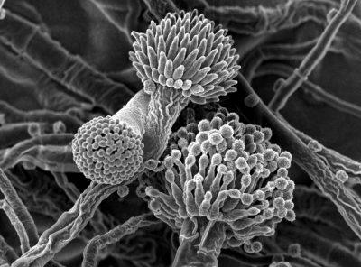 قارچی که باعث بیماری آسپرژیلوس میشود، در همه جا در داخل و خارج از منزل وجود دارد. اکثر سویههای این قارچ بیضرر هستند، اما برخی میتوانند بیماریهای جدی ایجاد کنند بویژه زمانی که افرادی با سیستم ایمنی ضعیف، بیماریهای ریوی اساسی و آسم بطور اتفاقی هاگها را استنشاق میکنند