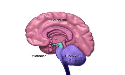 تصویر شماتیک مغز